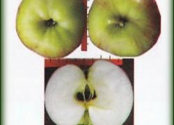 Описание сорта яблони Презент