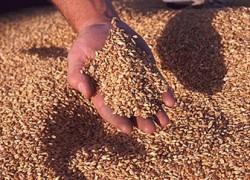 Стекловидность зерна