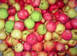 Яблоки как сырье для получения продуктов питания