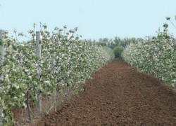 Сорта яблонь Самарской селекции
