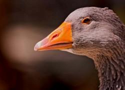 История одомашнивания гусей