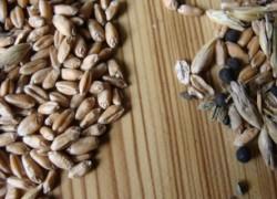 Методика определения чистоты семян