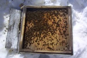 Почему пчелы не перезимовали? Анализ погибших семей