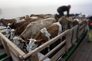 Особенности адаптации импортного скота молочных пород