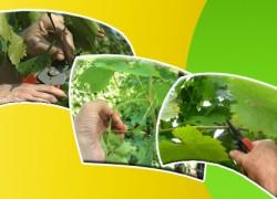 Формировка виноградного куста в течение вегетационного приода