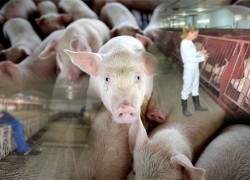 Профилактика инфекционных болезней свиней