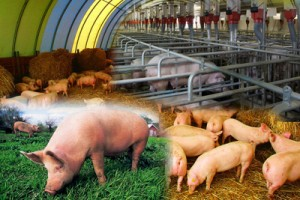 Способы содержания свиней