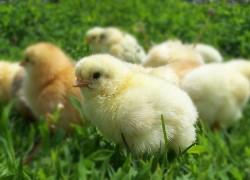 Профилактика заболеваний цыплят