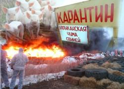 Африканская чума свиней. Масштабы бедствия