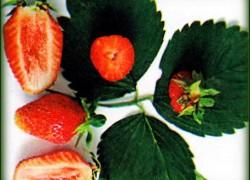 Сорт земляники садовой – Вымпел