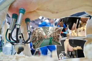 Доение коров, основные правила и стандарты дойки