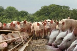 Структура стада свиней