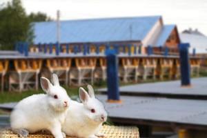 Кролиководство как бизнес. Рекомендации начинающим кролиководам