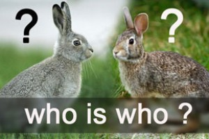 Особенности кроликов или чем отличается кролик от зайца