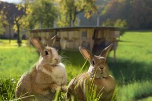 Мясное и мясошкурковое разведение кроликов