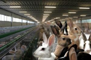 Как правильно выбрать племенного кролика для разведения?