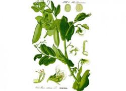 Ботаническая характеристика и биологические особенности гороха