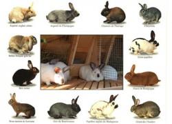 Породы кроликов. Как выбрать чистопородного кролика