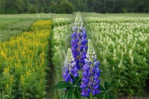 Люпин для аграриев, садоводов и дачников