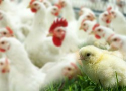 Как правильно кормить цыплят бройлеров