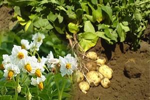 Схема защиты семенного картофеля от сельскохозяйственного холдинга «БелБульба»