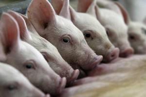 Особенности выращивания свиней в домашних условиях