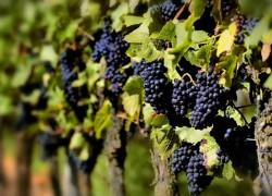 Опасные болезни винограда — проблемы отечественного виноградника