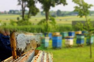 От цели организации пасеки до выбора породы пчел