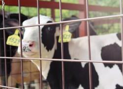 Геном молочной прибыли. Генетическое импортозамещение