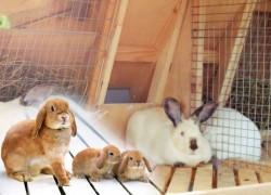 Работы, проводимые с крольчихой и крольчатами после окрола