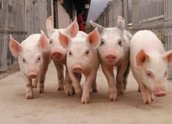 Вступление России в ВТО отрицательно сказалось на отечественных животноводах