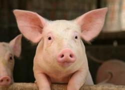 Свиноводство — вторая по значимости отрасль в животноводстве