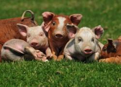 Типы продуктивности свиней