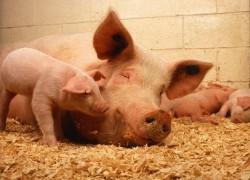 Породы свиней с мясо-сальной продуктивностью