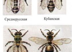 Факторы при выборе породы пчел