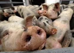 Сальная продуктивность свиней
