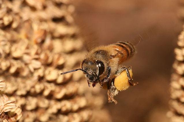 пчелы с пыльцой