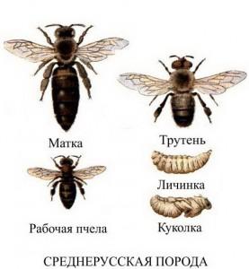 среднеруская