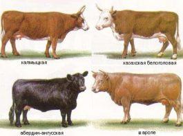 мясные коровы