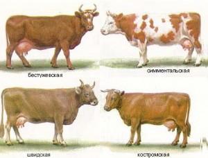 молочно-мясные породы