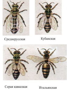 порода пчел