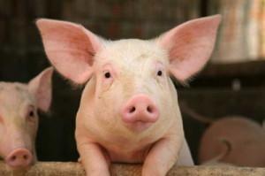 Свиноводство - вторая по значимости отрасль в животноводстве