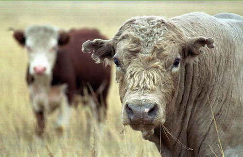 быки-производители