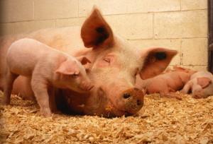 мясо-сальная продуктивность свиней