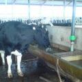 вода для коров