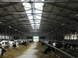 молочные коровы