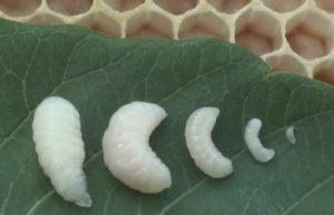 личинки открытого расплода