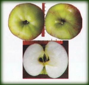 сорта яблони Презент_sorta yabloni Prezent