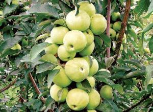 Kolonnovidnyj tip yabloni_Колонновидный тип яблони
