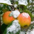 морозостойкие сорта яблонь